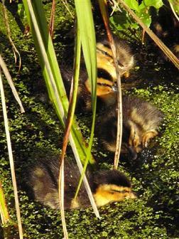 ducklings-1