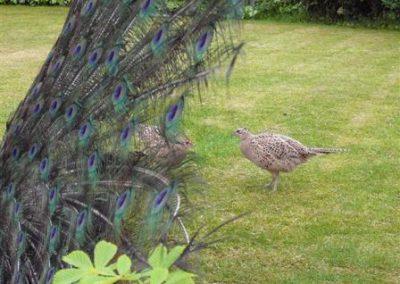 female_pheasants_and_peacock