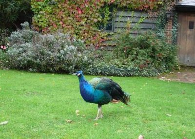 peacock_by_barn
